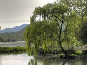 willowtree