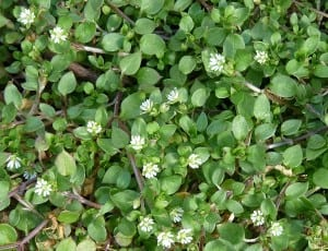 chickweed-common-mat