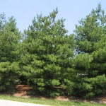 Pine – One of the Best Survival Trees