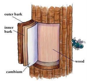 Pine tree edible bark
